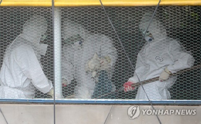 Quarantine officials gather chickens at a farm in Jeju Island on June 7, 2017, in order to cull them to prevent the spread of bird flu. (Image: Yonhap)