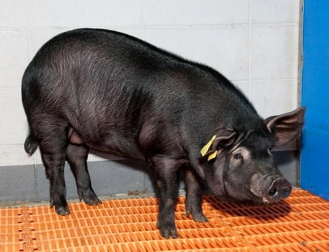 The team, led by professors Lee Seung-eun and Park Se-pill at the Jeju National University (JNU) Stem Cell Center, was able to produce a clone pig with three genes that cause Alzheimer's and dementia, and has applied for a patent for their technology, officials revealed on Thursday. (Image: Korean federation for environmental movement)