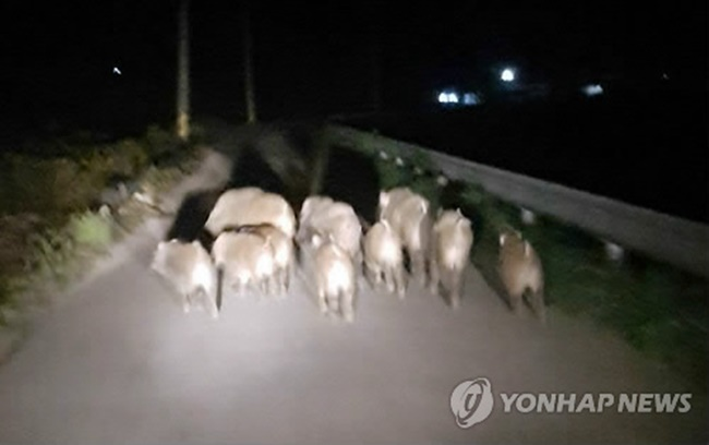 The growing number of wild boars in recent years is presenting South Korea with yet another ecological challenge, with the MOE introducing comprehensive anti-wild boar measures last year in a bid to curb their numbers. (Image: Yonhap)