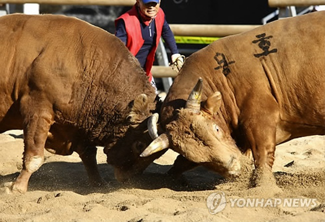 As Jeongeup City in North Jeolla Province is set to move forward with plans to build a farm animal theme park, the local government is facing accusations of animal abuse from both progressive civic groups and political parties over a proposed bullfight stadium. (Image: Yonhap)