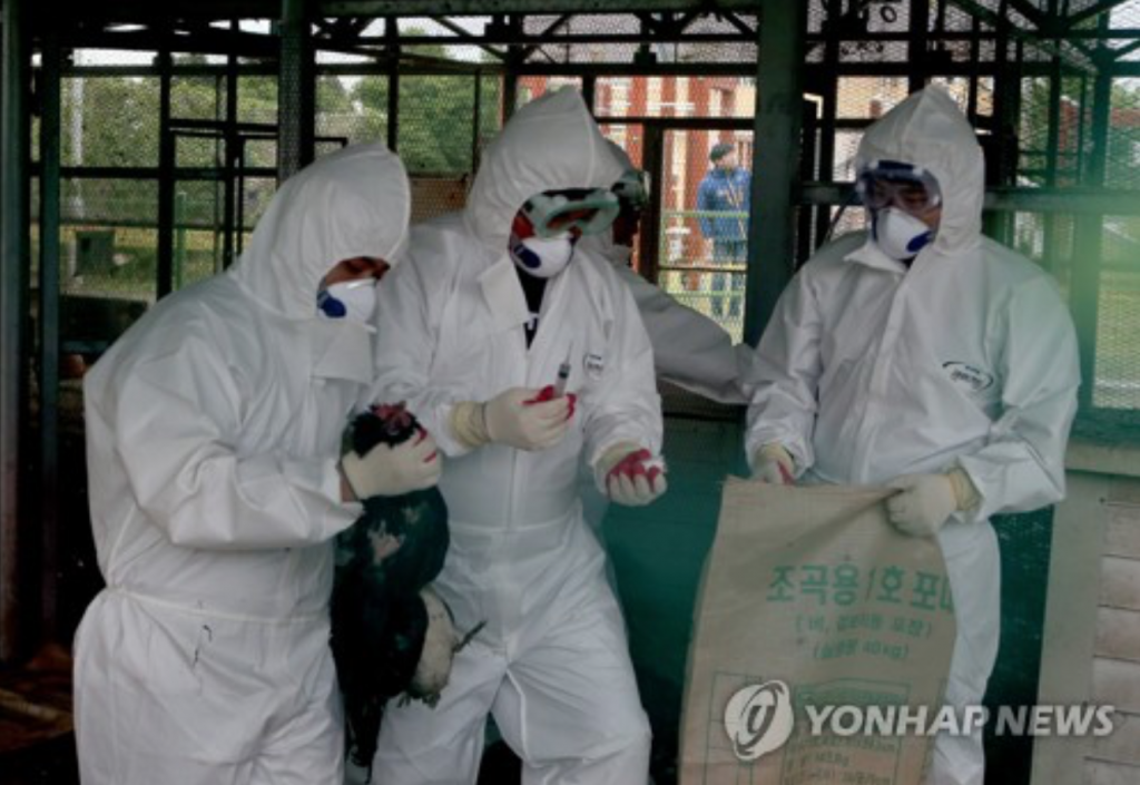 South Korea had put an end to its worst bird flu outbreak only a few months earlier and only after killing more than 30 million birds. (image: Yonhap)