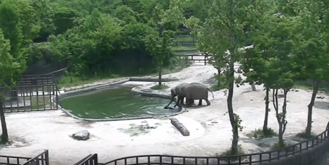 The short video showing the calm but quick response from both the mother and aunt elephants during the incident has touched many a viewer's heart around the world, prompting coverage from international media outlets including the Daily Mail and the Sun. (Image: Youtube)