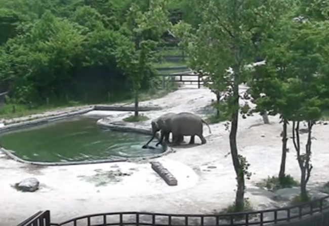 Video Captures Resourceful Elephants Saving Drowning Calf