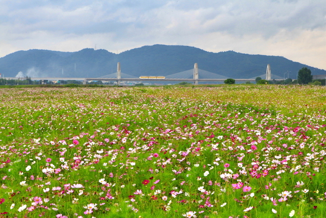 In two days, visitors will be walking among 98,500 square meters worth of cosmos flowers on Hajungdo Island, situated off the shore of Daegu in the Geumho River. (Image: City of Daegu)