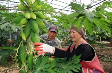 Homegrown Guava a Sign of Korean Adaptation to Climate Change