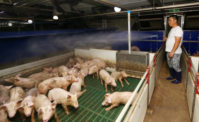 The temperature must be kept below 30 degrees Celsius for Korean cattle and chickens, while pigs must be kept in a temperature below 27 degrees. (Image: Yonhap)