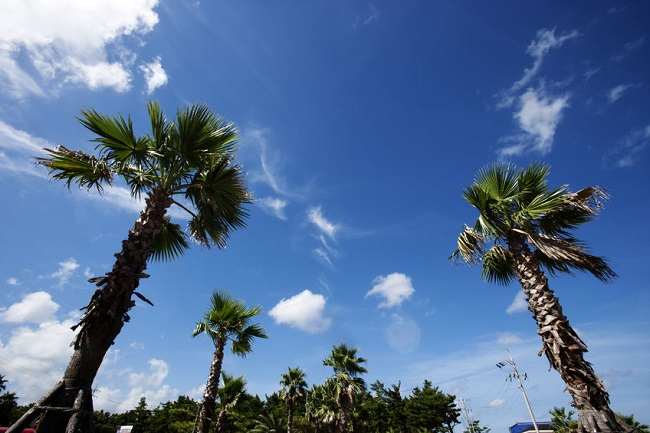 In Jeju, which is frequently buffeted by strong winds, palm trees reaching high skyward occasionally interfere with high-voltage electric wires, causing blackouts.(Image:Kobiz Media)