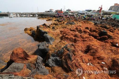 Invasive Seaweed off Jeju Originates from China: Report