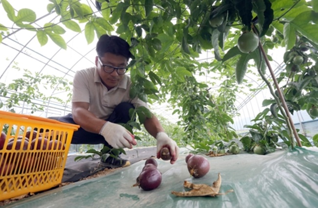 With the sweltering summer heat showing no signs of relenting, an increasing number of South Korean farmers in inland areas such as Chungju are taking advantage of the extreme weather and turning their attention to growing tropical fruits. (Image: Yonhap)