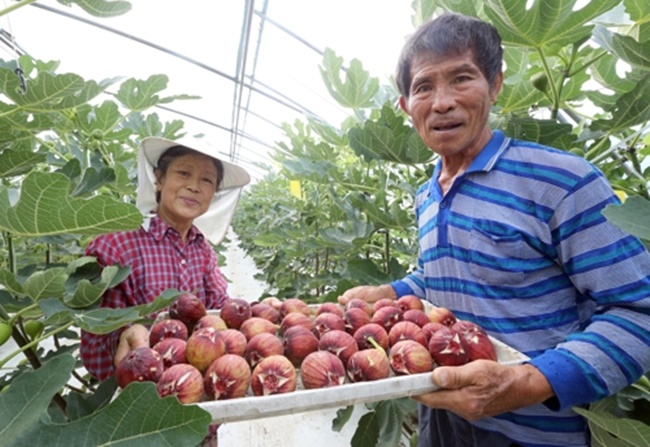 First introduced to tropical fruits by an acquaintance, Lee has now become an expert in the field of tropical fruit farming, with visitors traveling from outside the community to meet him for advice. (Image: Yonhap)