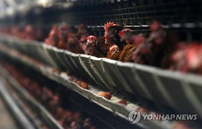 With the scandal surrounding eggs contaminated with harmful pesticides continuing to sweep South Korea, the long debated issues of controversial battery farms and poorly conducted environmental regulations are back in the spotlight. (Image: Yonhap)
