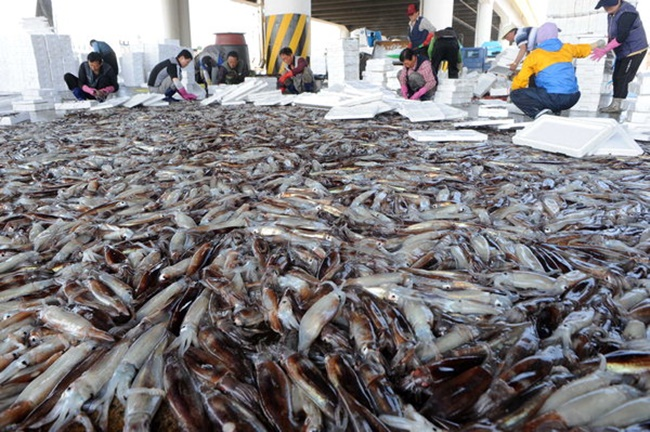 South Korea's imports of squid have soared in recent months in the wake of a drastic drop in catch of squid in South Korean waters. (Image: Yonhap)