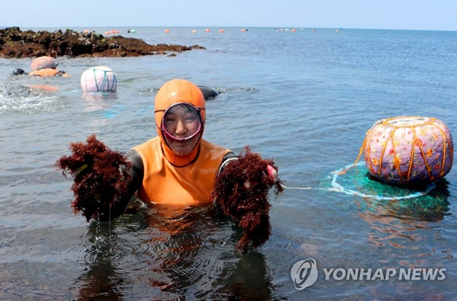 Jeju Island's aging traditional female divers known as 'haenyeo' are set to receive an allowance from the local government beginning in September. (Image: Yonhap)