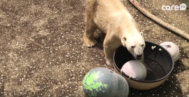 The video, released by South Korean animal rights group Care, shows a polar bear named 'Tonky' confined to an indoor enclosure at Everland, a popular theme park, with no water in his pool, visibly in pain and withering in the summer heat. (Image: Care TV)