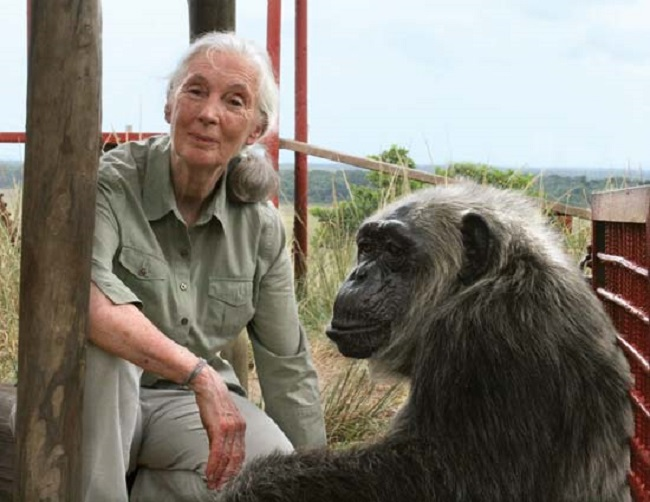 Jane Goodall has been an active UN Messenger of Peace since being bestowed the honor in 1997 by former UN Secretary-General Kofi Annan. (Image: the Jane Goodall Institute)