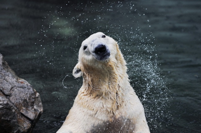 A video depicting a polar bear suffering from the sweltering summer heat at a South Korean zoo has sparked a controversy, with some accusing the zoo of animal abuse. (Image: Everland)
