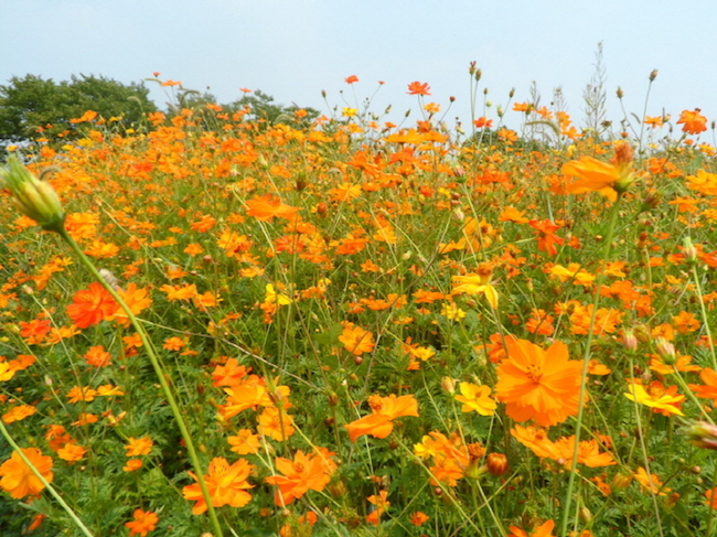Larger than 14 soccer fields put together, the grounds will boast a wilderness of cosmos and the especially popular yellow cosmos.  (Image: City of Suwon)