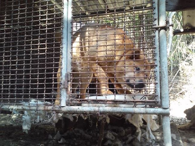 A dog farm owner prosecuted on charges of animal cruelty for killing 30 dogs via electrocution was declared innocent on September 28. (Image: Yonhap)