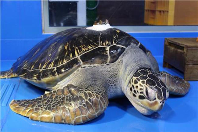 Besides the 80 that were born at Aqua Planet Yeosu (Yeosu Aquarium), the remaining three were discovered last December and treated until they were deemed healthy enough to return to sea. (Image: Yonhap)