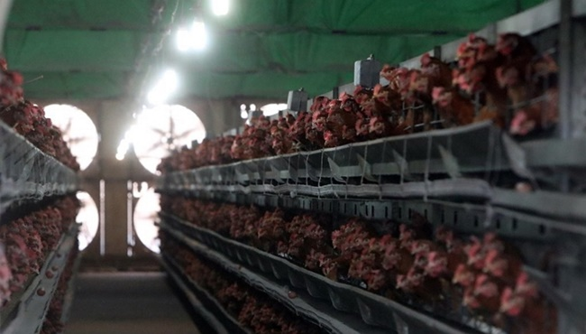 Forcing Diet on Chickens Not Effective in Removing Pesticides