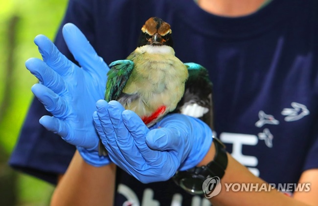 The Jeju Wildlife Rescue Center released an endangered fairy pitta bird back into the wild on Tuesday after it was rescued earlier this month following an injury. (Image: Yonhap)