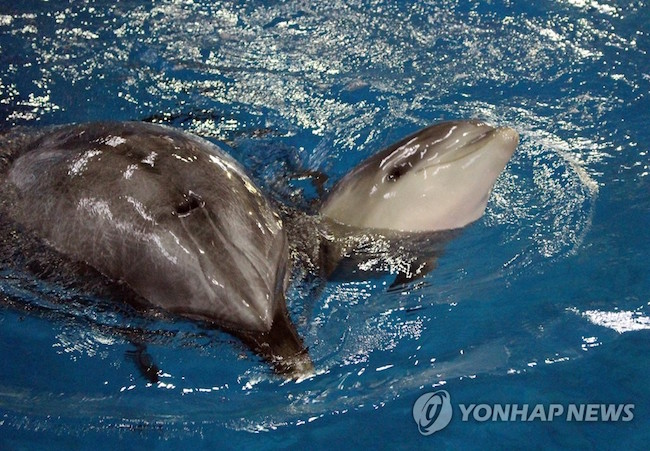 As 50 to 70 percent of dolphins born in captivity don't make it past their first year, the chosen name reflects the hopes of the aquarium that Jang Su is one of the few to buck that trend. (Image: Yonhap)