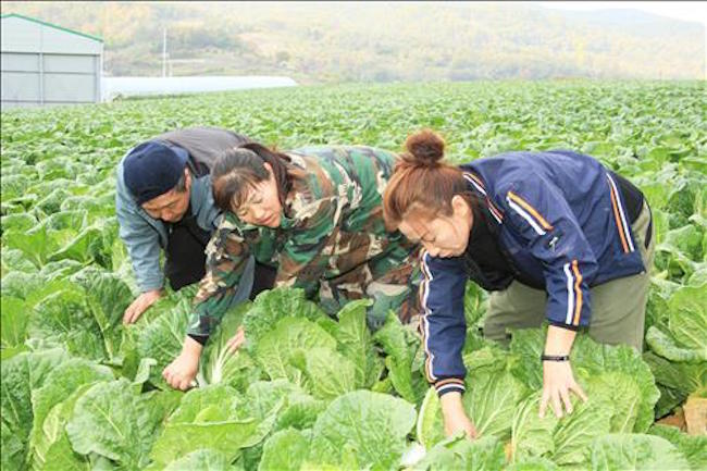 """For the people of Goesan County, North Chungcheong Province, the period of """"gimjang"""" or kimchi-making in November is the most critical time of the year. (Image: Yonhap)"""