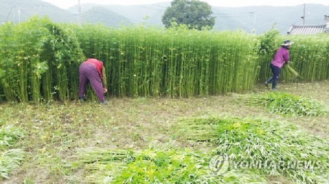 Andong Pushes for Legalization of Hemp to Develop Bioindustries