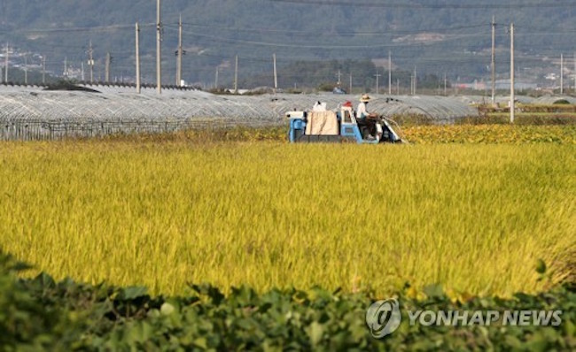 South Korea's rice output is expected to drop below the 4 million-ton mark for the first time in over three decades, due mainly to bad weather conditions in the harvest season, government data showed Tuesday. (Image: Yonhap)