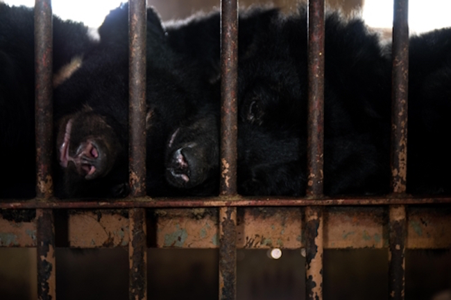 """652 """"Battery Bears"""" Languish in Caged Squalor While Awaiting Death"""