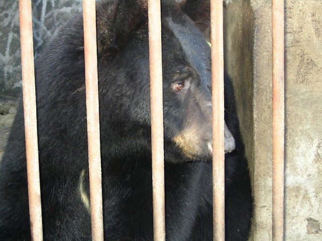 Besides the brown bear and the American black bear, the remaining six species of bears are classified as either vulnerable or endangered according to the World Conservation Union. (Image: Green Korea)