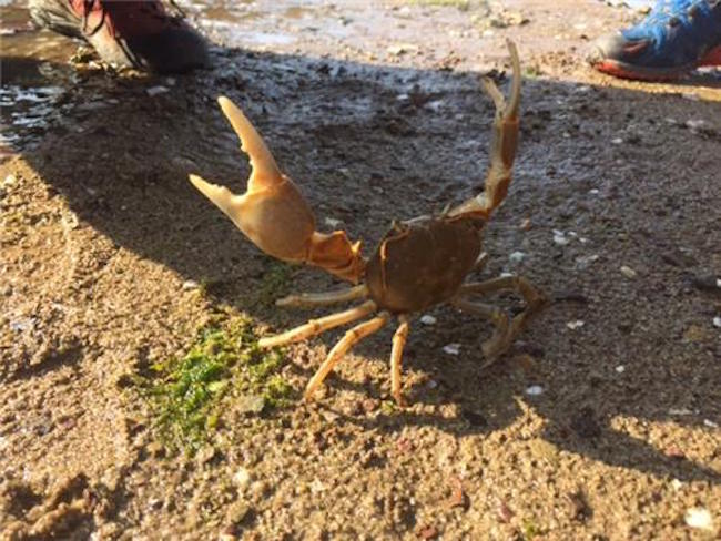 Endangered Crabs Migrate to Restored Mudflats