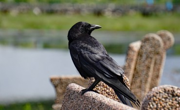 Suwon Residents on High Alert for Migratory Droves of Rooks