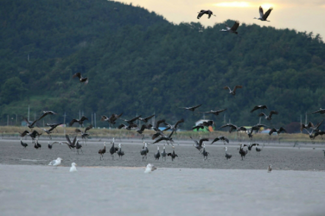 It is believed that migratory birds bring the disease with them from the Chinese mainland. (Image: Suncheon)