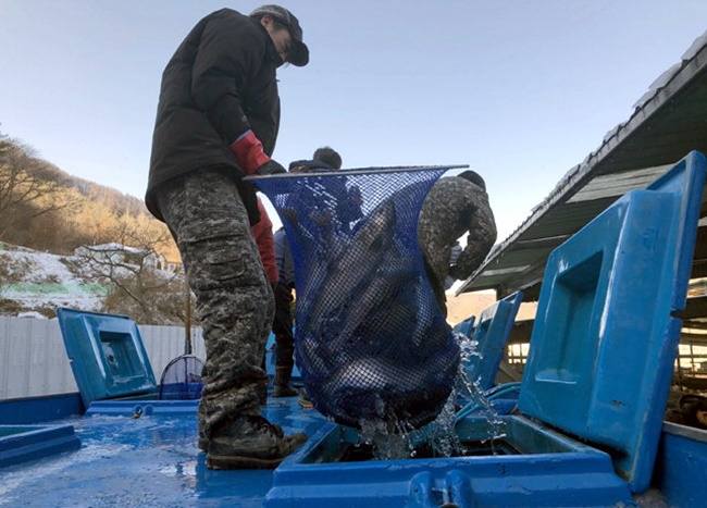Hwacheon County announced on Wednesday that trout from across the country are being moved to a local fishing farm ahead of the annual Hwacheon Sancheoneo Ice Festival.(Image: Hawcheon County)