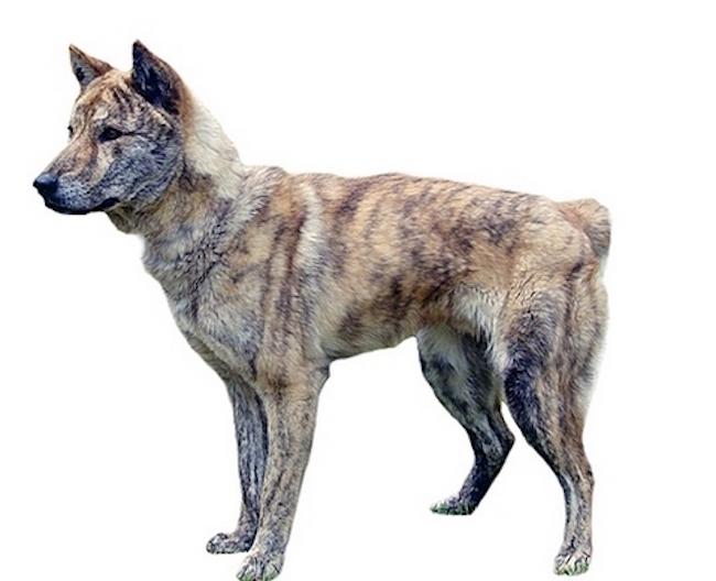 Donggyeong dog (Image: Yonhap)