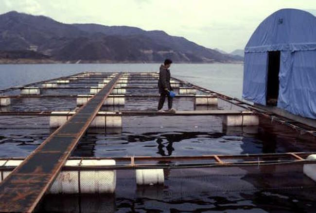 "The MOF's forecast for aquaculture includes the establishment of an experimental eco-friendly ""smart"" fish farm that replaces antibiotics, R&D into high-quality feed that prevents disease outbreaks, and the crafting and enforcement of universal aquaculture standards and guidelines. (Image: Yonhap)"