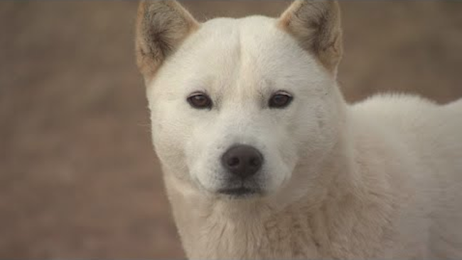 Research has found indigenous South Korean canines are more closely related to wolves and coyotes than foreign breeds are. (Image: Yonhap)