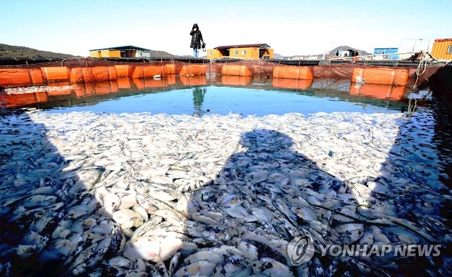 The ongoing frigid weather conditions have claimed the lives of tens of thousands of fish raised on an aquafarm in South Jeolla Province, with more casualties to come according to the aggrieved owner. (Image: Yonhap)