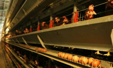 Home Improvements for Chickens as Gov't Pushes for Better Factory Farming Standards