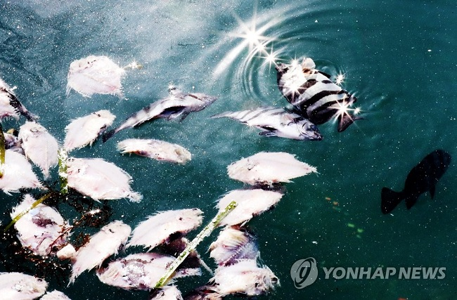 """The owner believes the worst is yet to come """"There are most likely even more dead striped beakfish at the bottom that will rise to the surface eventually,"""" the 56-year old said sadly. (Image: Yonhap)"""