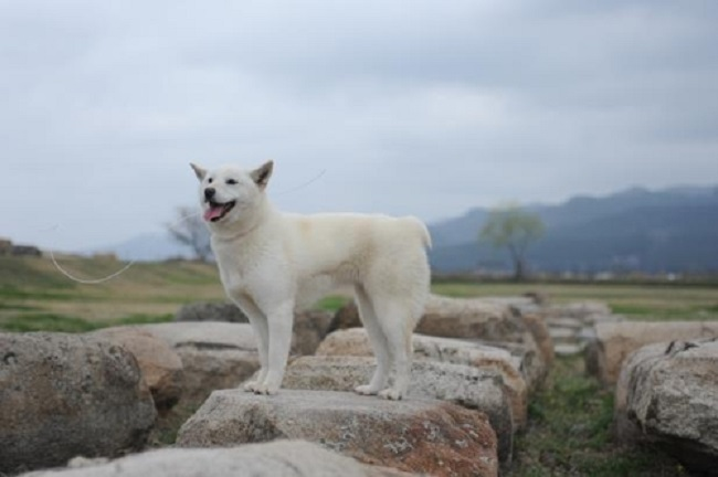 The Donggyeong breed of canines native to the Gyeongju region of South Korea have been under state protection since 2012, when the Culture Heritage Administration designated the dogs as Natural Monument no. 540. (Image: Yonhap)