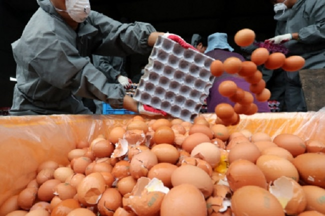 Chickens susceptible to disease lead to concerned farmers overusing chemical pesticides to beef up their flock's resistance to infection, but this can lead to egg production contaminated with hazardous chemicals, resulting in the pesticide eggs furor last year. (Image: Yonhap)