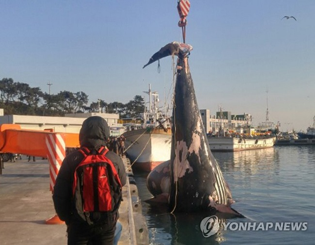 Dead Humpback Whale Likely to End Up as Feed or Incinerated