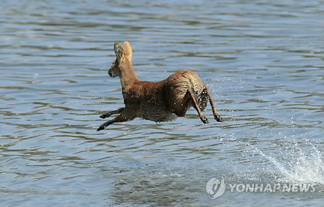 Since 2000, local governments began carrying out efforts to trim population sizes as water deer numbers continued to grow, resulting in an increasing number of encounters between the animals and humans. (Image: Yonhap)