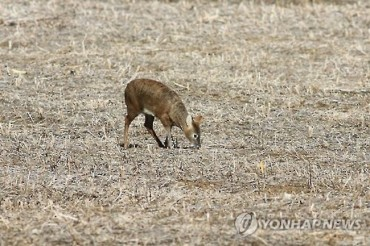S. Korea's Water Deer Protected Internationally, Hunted Domestically