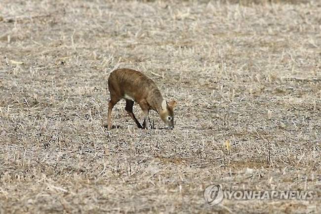 With a natural habitat limited to east-central China and Korea, the water deer, named for its affinity for water, carries out an uncertain existence. (Image: Yonhap)