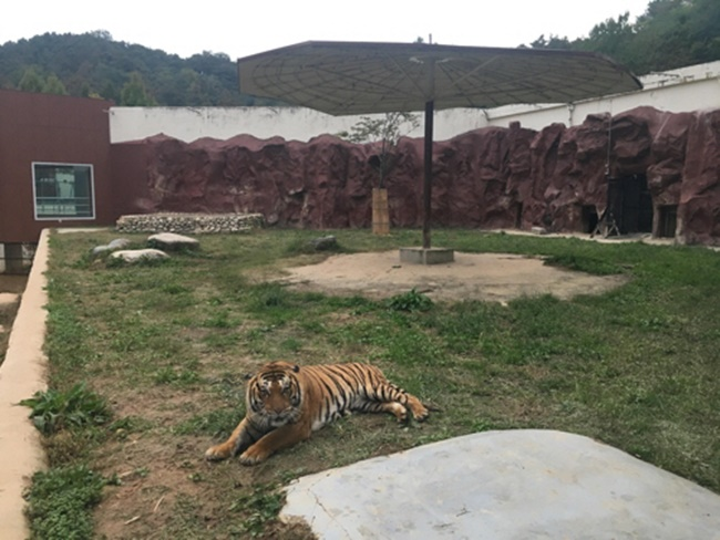 Zoo Panned After Distressed Tiger Eats Her Own Cub