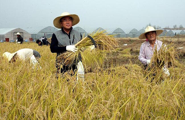 Despite government efforts to persuade South Korean rice farmers to grow different crops, the majority have refused to budge due to the twin factors of the highest rice prices in three years and a natural disinclination to try their hand at growing other crops after a lifetime of rice farming. (Image: Yonhap)