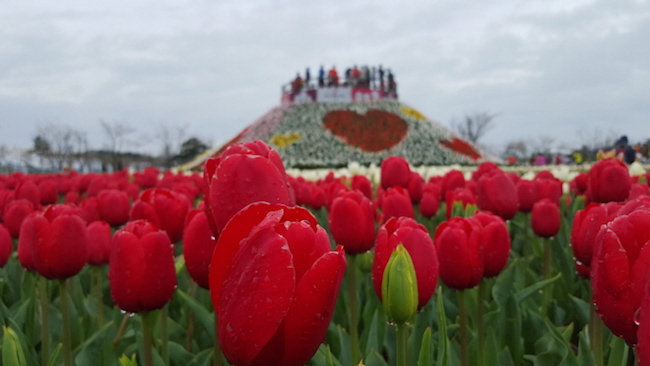 Now in its seventh year, South Korea's premier spring event was named one of the world's top five tulip festivals at the World Tulip Summit in 2015 and 2017.